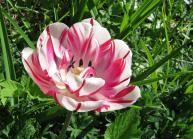 Samma tulpan ... utslagen i solsken :)