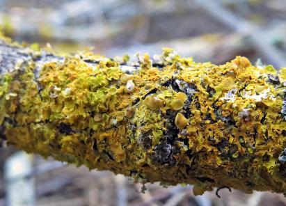 Vägglaven lyser också gul :)