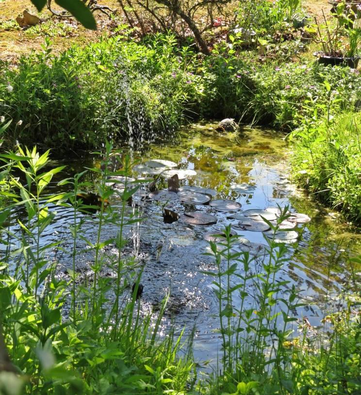 Dammen ... snart blommar näckrosorna ...