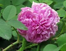 En doftande gammaldags ros, som jag fick av en kompis för många år sedan - i år blommar den för första gången ... men bara med en enda blomma.