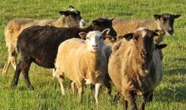 God morgon, hälsar fåren i den andra hagen ...