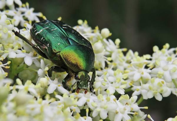Guldbagge ... tror den heter gräsgrön guldbagge - de var många på fläderblommorna ...