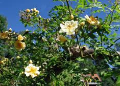Ljuvligt doftande honungsrosor och blå himmel - då är det sommar på riktigt!
