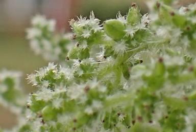 Nässlorna blommar med pyttesmå vita blommor