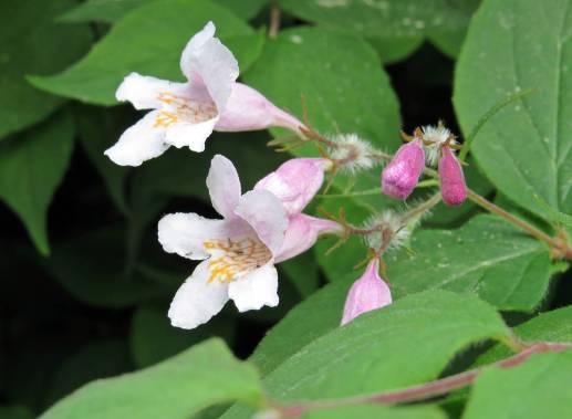 Nu blommar även paradisbusken ...