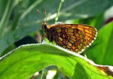 skogsnätfjäril vingens baksida