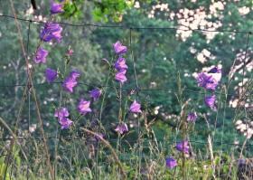 21 juni. Stora blåklockor i morgonljus
