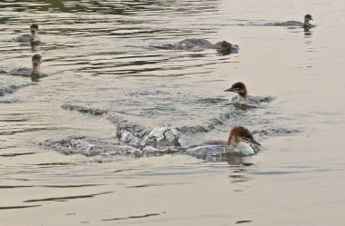 jakten går över och under vattnet ...