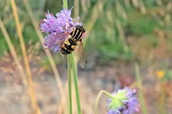 Blomfluga i åkervädd