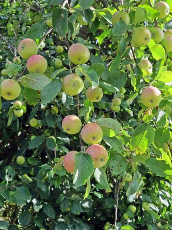 Mycket äpplen!
