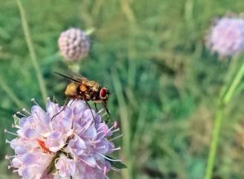 Rödögd fluga på åkervädd