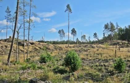 ... och på andra sidan vägen, hygget där min finaste svampskog fanns ......