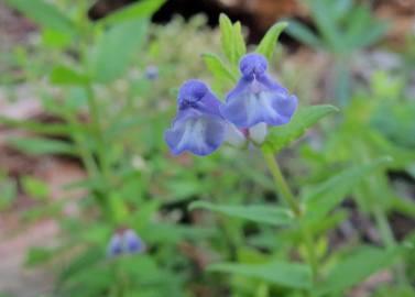 ... och den här lilla blå, som heter frossört.