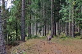 Vi följde den gamla skogsvägen som går bredvid Långa gärdet ...
