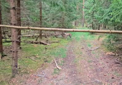 Hit, men inte längre tyckte visst någon som lagt en trädstam över vägen.