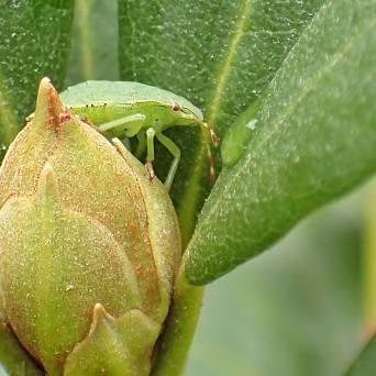 Grön bärfis i något av de slutliga larvstadieerna ...