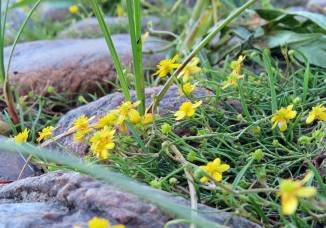 ... och jag har lärt mig två nya växter! Den här lilla gula blomman, som heter strandranunkel ...