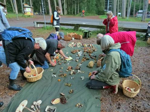 Återsamling och uppläggning av svampfynd.