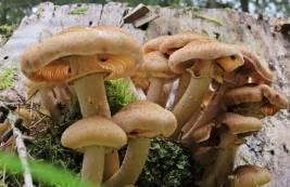 Tillsammans med de röda flugsvamparna, så var honungsskivlingen en av de vanligaste.