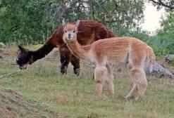 7 september Hej! Nyfikna alpackor ...