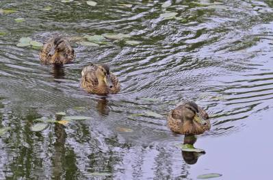 Änderna i sin rätta miljö - i vattnet.