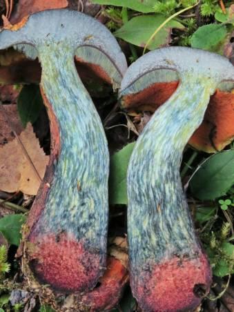 Typiska kännetecken - blånar kraftigt vid snitt, vinröd fotbas och rött porlager under hatten.