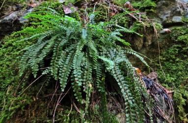 Denna vackra lilla ormbunksväxt växer på bergväggen på väg in i det gamla kalkbrottet.