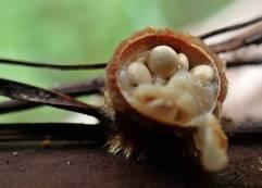 """... petade av """"locket"""" - och därunder ligger de små brödliknande peridiolerna som innehåller svampens sporer."""