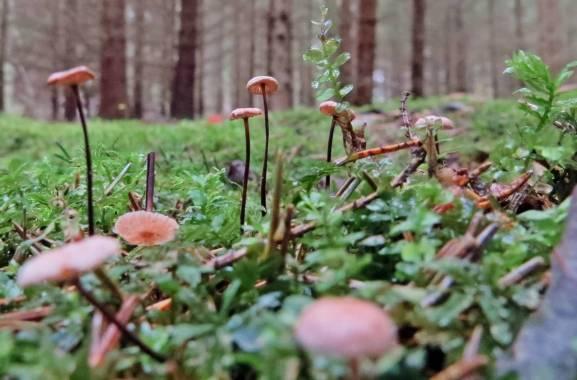 Barrbroskingar ... varje svamp har sitt eget barr att växa på.