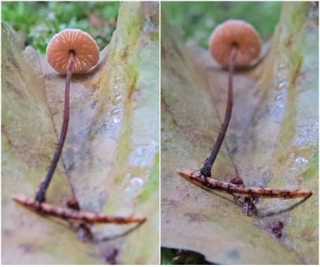 Barrbrosking och de svarta ränderna på barren är också en svamp - barrsprickling