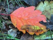 ... ett av löven i lite närmare.