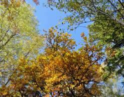 Mest gula löv ... och en blå himmel!