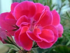 Pelargonerna blommar än ...