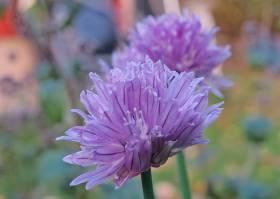 Gräslöken är fin nu ... och blommar gör den :)
