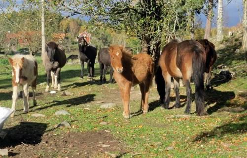Hästarna tittar nyfiket på ...