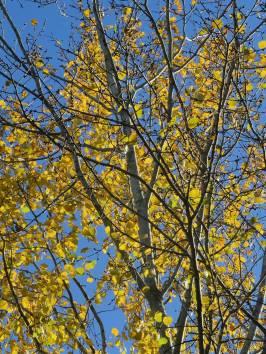 Asparnas löv lyser som guld i solen ... snart finns inga kvar ...