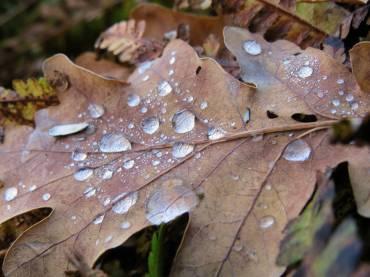 Några droppar har blivit kvar på eklövet.