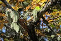 Skägglav ... här var träden förr fulla med skägglav - nu fanns det bara i den här eken ...