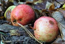 En del äpplen som hästarna missat ...