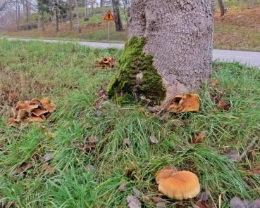 """Ute vid Kimstadsvagen hittar jag några fina tofsskivlingar vid ett träd - och upptäcker trafikskylten som faktiskt har med dagens senare kommamde inlägg """"Skyltsöndag"""" att göra ..."""