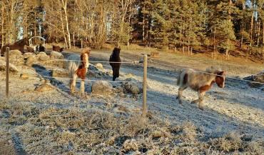 När jag har Olle med mig, så kommer fölen och deras mammor i full fart för att hälsa ...