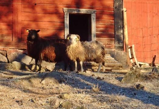 två fårskallar var ute ... resten stannade inne i värmen :)