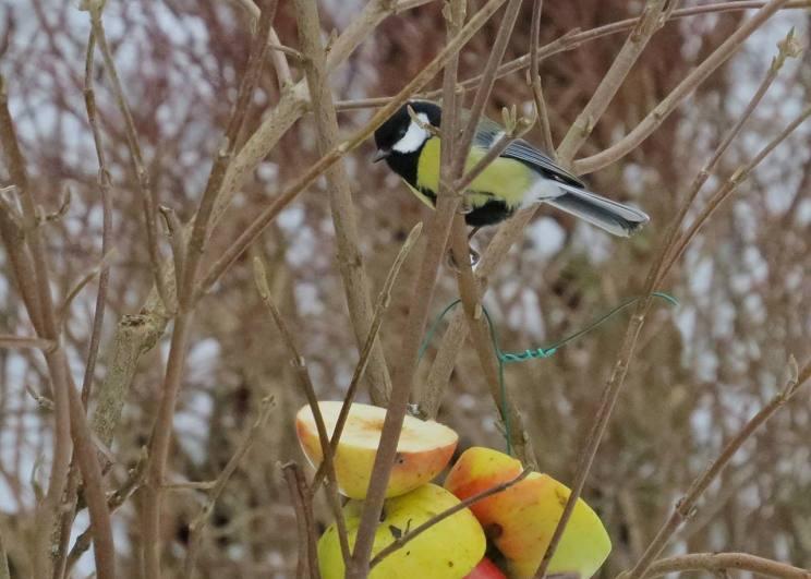 ... sen kommer talgoxarna. Äpplen är populärt, inte bara hos trastarna, utan även hos mesfåglarna.