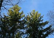 Härlig dag med blå himmel ... och många kottar i toppen på granarna.