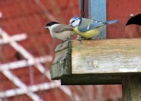 vid fågelrestaurangen - en blåmes och en tita ... entita eller talltita ... svåra att se skillnad på ...