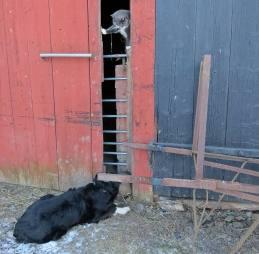 Vallhunden Ess och en av stallkatterna bevakar fåren och håller ett öga på mig ...