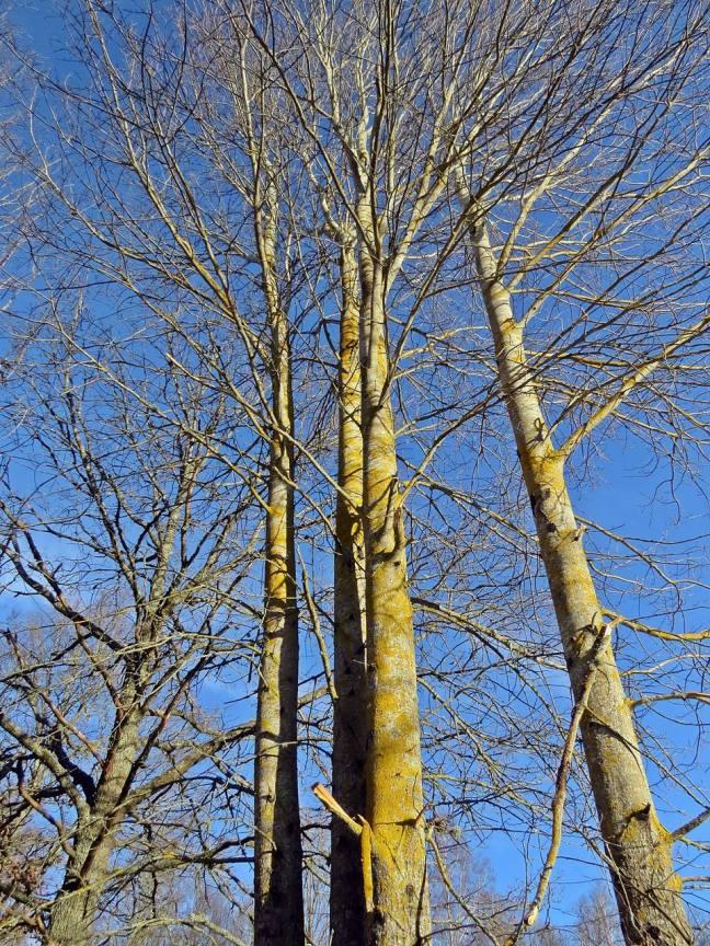 Blågult ... blå himmel och gula stammar ...