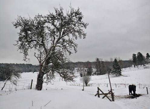 Det gamla gråpäronträdet.
