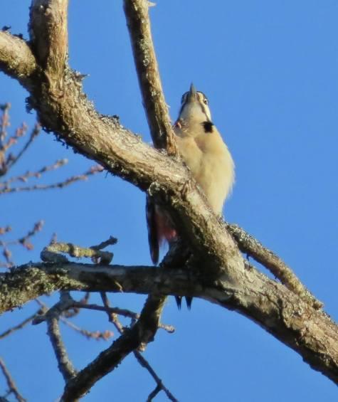 Högt upp iträdet satt en hackspett ... han ville inte vara med på bild!