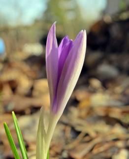 Snökrokusarna har börjat blomma ...